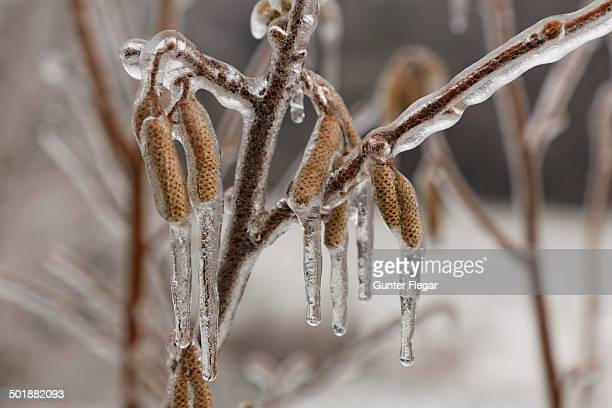 Ice-coated male catkins, inflorescence, Common Hazel -Corylus avellana-, wienerwald, Sulz im Wienerwald, Lower Austria, Austria