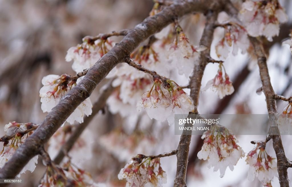 Ice-covered cherry blossoms are seen near the Potomac River on March 14, 2017 in Washington, DC. Winter Storm Stella dumped snow and sleet Tuesday across the northeastern United States where thousands of flights were canceled and schools closed, but appeared less severe than initially forecast. NGAN
