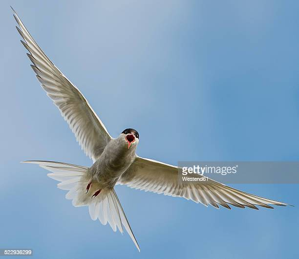 Iceland, Arctic Tern, Sterna paradisaea, flying