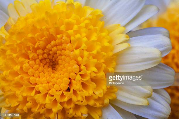 iceland asteraceae flower - pores stock photos and pictures