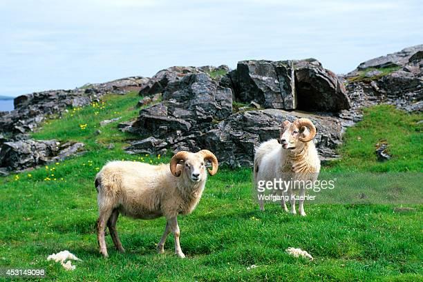 Iceland East Coast Sheep Rams