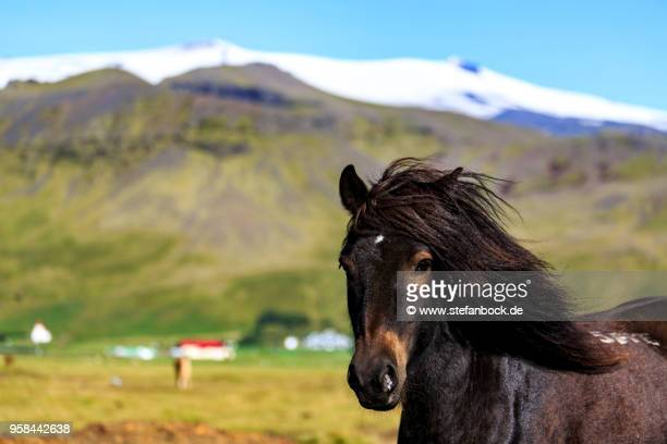 iceland horse in front of eyjafjallajökull - gras stock pictures, royalty-free photos & images