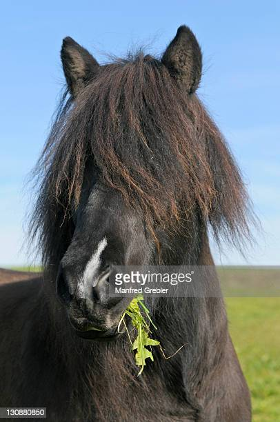 Iceland horse in the paddock with grass in its mouth, long mane covering its eyes