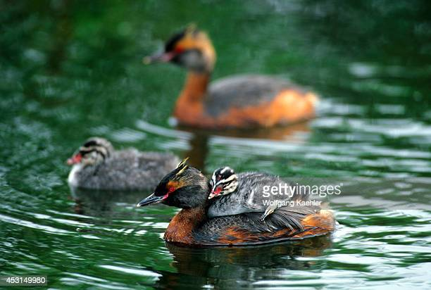 Iceland Myvatn Lake Horned Grebe With Chick On Back