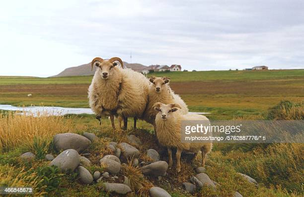 iceland - icelandic sheep stock photos and pictures