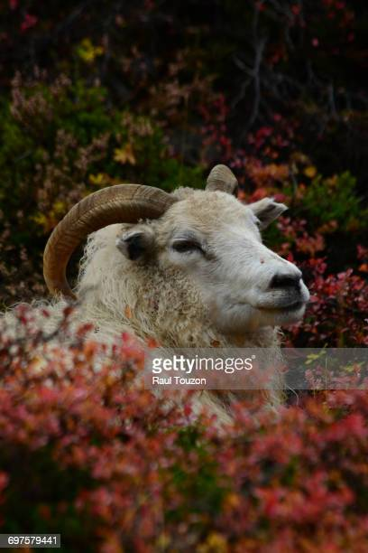 """""""a icelandic sheep, ovis aries, resting among fall foliage in thingvellir national park."""" - icelandic sheep stock photos and pictures"""