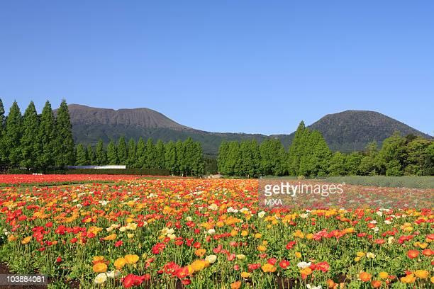 Iceland Poppy in Ikoma Highland, Kobayashi, Miyazaki, Japan