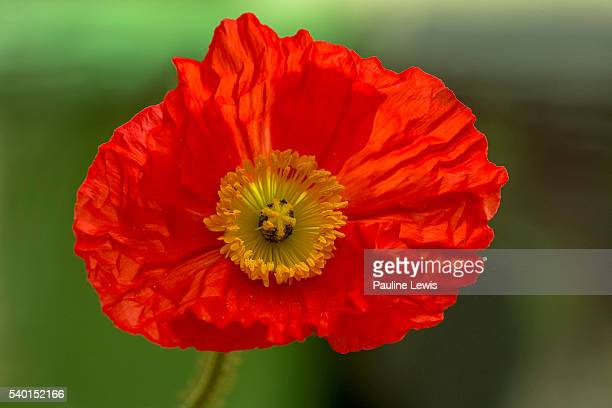 Iceland poppy stock photos and pictures getty images iceland poppy mightylinksfo