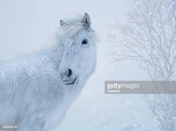 Iceland, Portrait of white horse