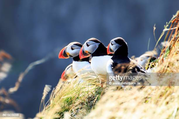iceland puffins - sonnig stock pictures, royalty-free photos & images