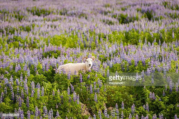 iceland, sheep in field of lupins - surrounding stock pictures, royalty-free photos & images