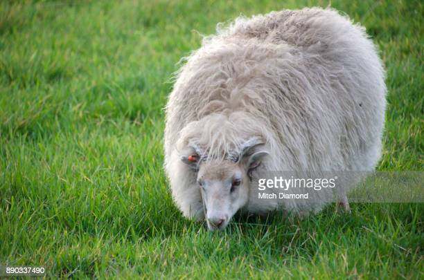 iceland sheep - icelandic sheep stock photos and pictures