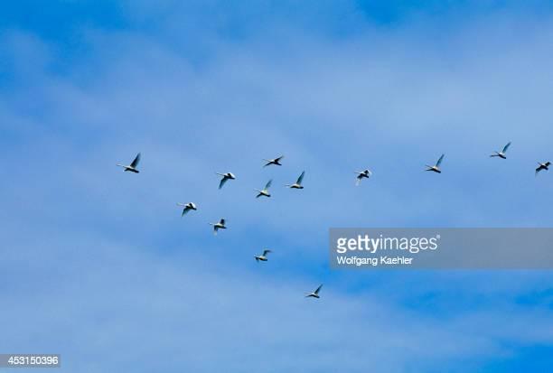 Iceland South Coast Near Hofn Whooper Swans In Flight