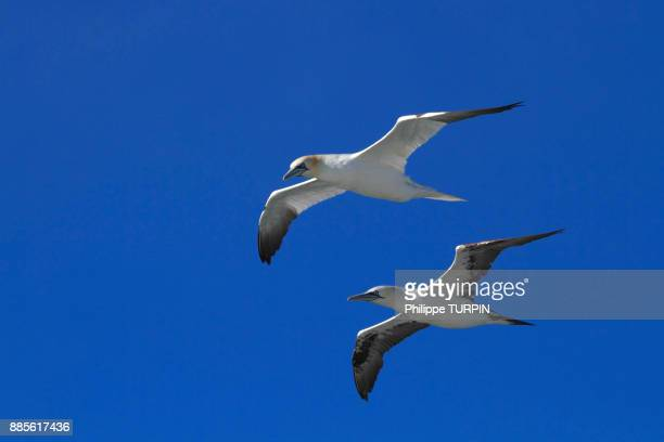 iceland, vestment islands. northern gannets (sula bassana) flying in the sky. - islands in the sky stock pictures, royalty-free photos & images