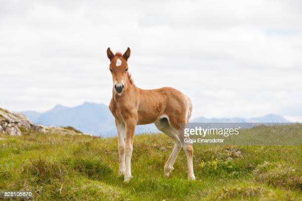 icelandic foal - colts stock photos and pictures