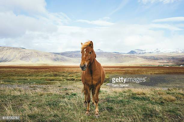 Icelandic horse and distant mountain landscape, Iceland