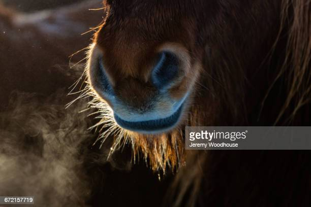 icelandic horse breathing in cold air - jeremy woodhouse stock pictures, royalty-free photos & images