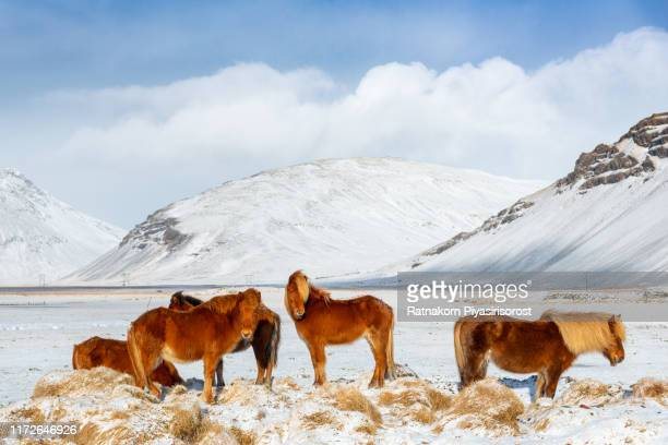 icelandic horse during winter snow, iceland - iceland stock pictures, royalty-free photos & images