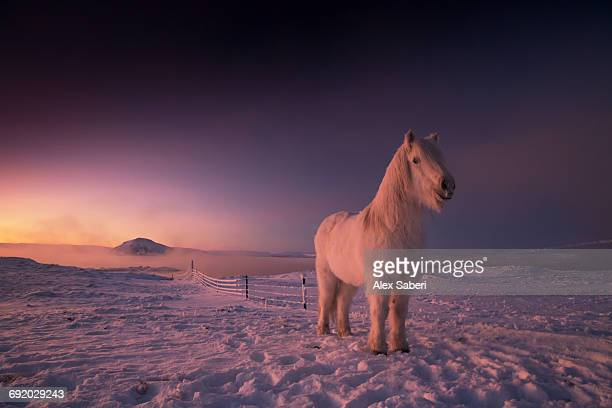 icelandic horse, equus ferus caballus, on snowy farm during sunset in iceland. - alex saberi stock pictures, royalty-free photos & images