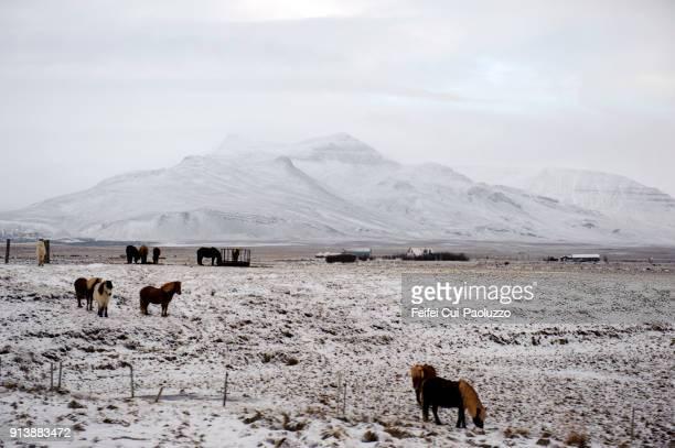 Icelandic horse farm near Borgarnes, West Iceland