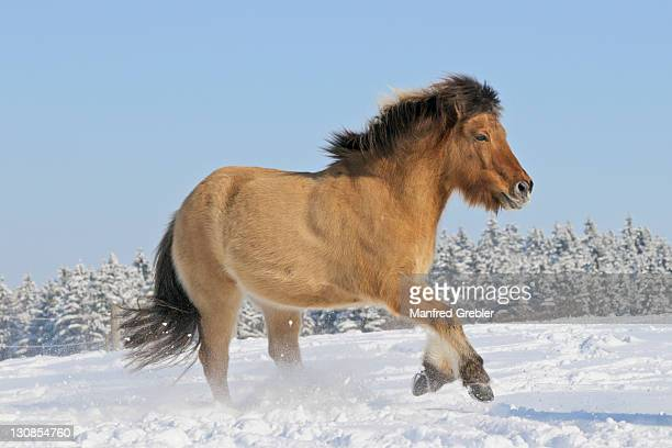 icelandic horse galloping in the snow - vista lateral stock pictures, royalty-free photos & images