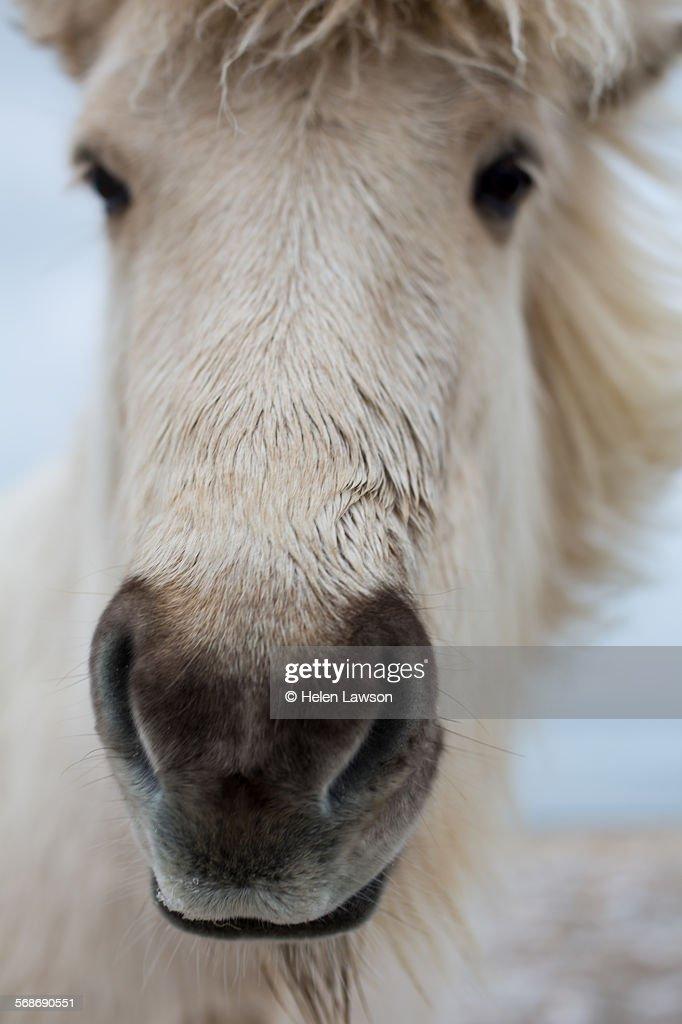 Icelandic horse head : Stock Photo
