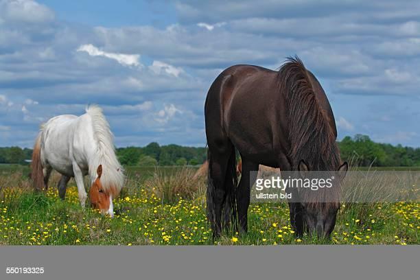 Icelandic Horse Icelandic Pony mares