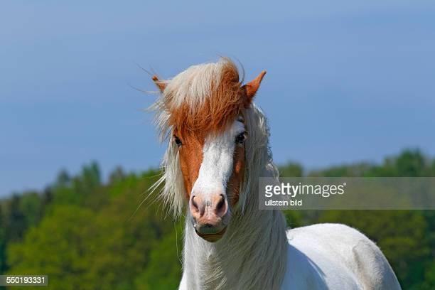 Icelandic Horse Icelandic Pony