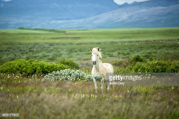 icelandic horse in a beautifull field - wild animals stock photos and pictures