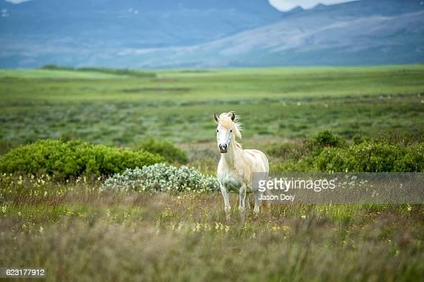 icelandic horse in a beautifull field - caballo blanco fotografías e imágenes de stock