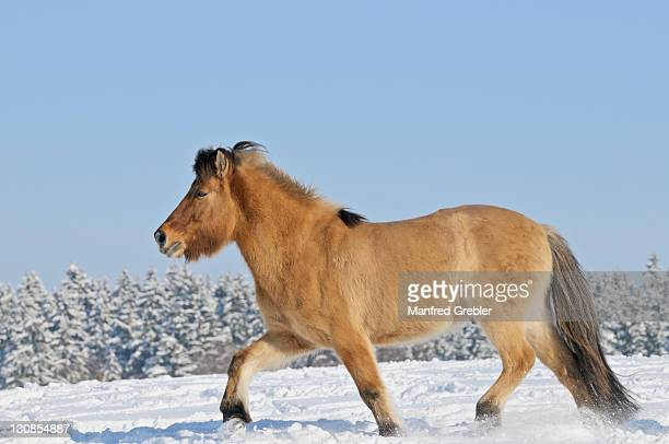 icelandic horse in snow - vista lateral stock pictures, royalty-free photos & images