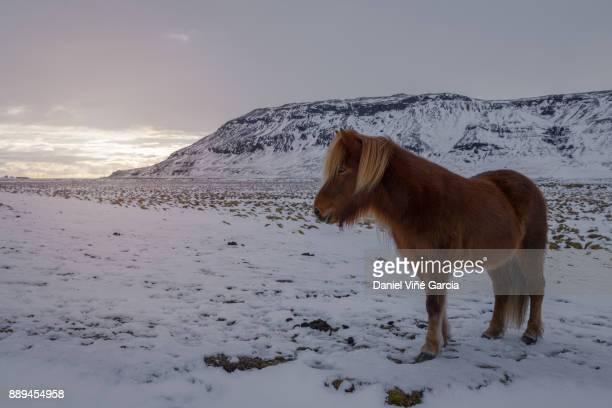 Icelandic Horse in the snow