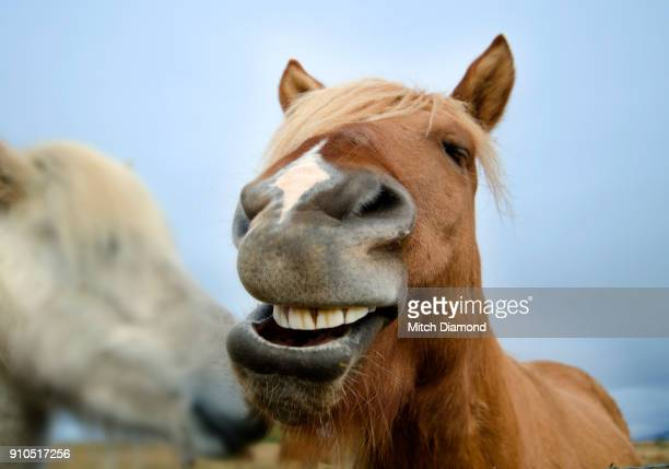Icelandic Horse Making a Silly Face