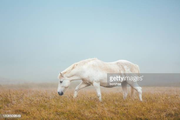 icelandic horse on pasture - one animal stock pictures, royalty-free photos & images