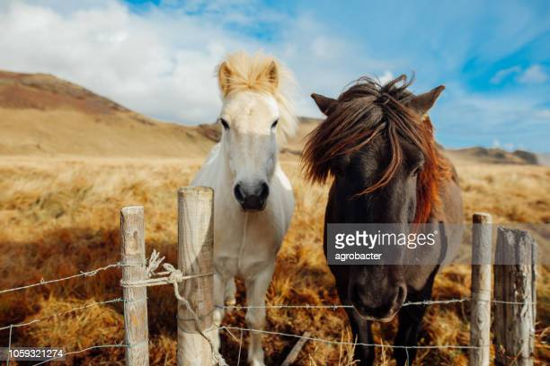 icelandic horse - iceland stock pictures, royalty-free photos & images