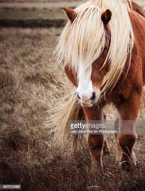 icelandic horse - lise ulrich stock pictures, royalty-free photos & images
