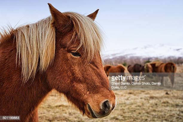 icelandic horse - damlo does stock pictures, royalty-free photos & images