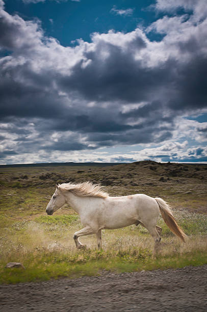 Icelandic Horse Running Through Landscape Wall Art