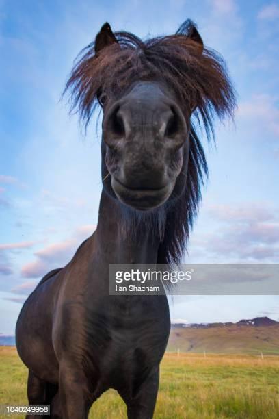 icelandic horse with face in camera - pony play bildbanksfoton och bilder