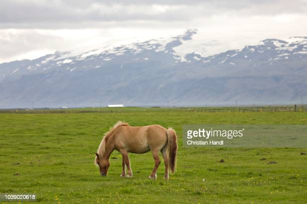 icelandic horse with the eyafjallajoekull in the background, iceland, atlantic ocean - vista lateral stock pictures, royalty-free photos & images