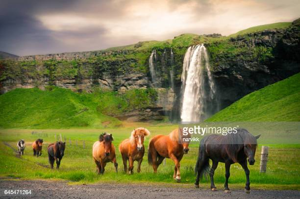 icelandic horses at seljalandsfoss waterfall - iceland stock pictures, royalty-free photos & images