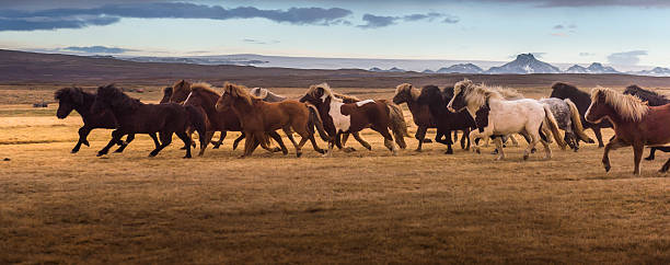 Icelandic Horses Galloping Over The Field Wall Art