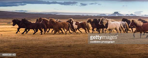 Icelandic horses galloping over the field