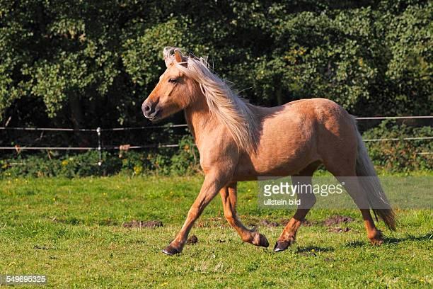 Icelandic Horses Icelandic Pony mare