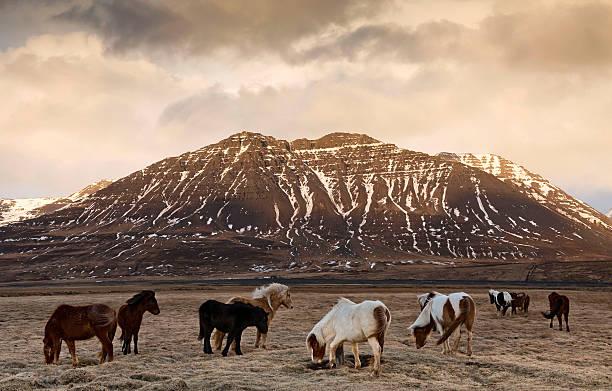 Icelandic Horses In Dramatic Landscape Wall Art