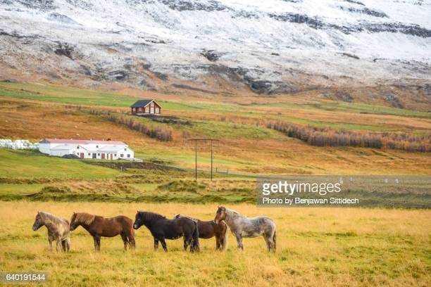 Icelandic Horses in early winter of Iceland