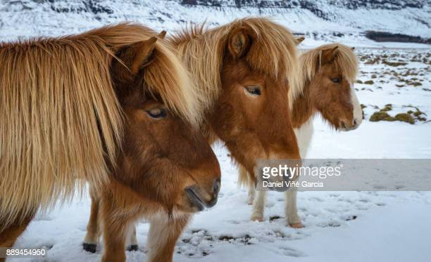 Icelandic horses in snow