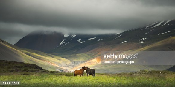 Icelandic horses in the field