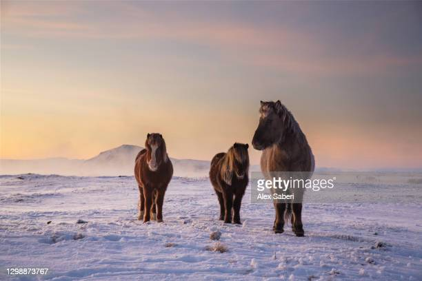 icelandic horses in the snow. - alex saberi stock pictures, royalty-free photos & images