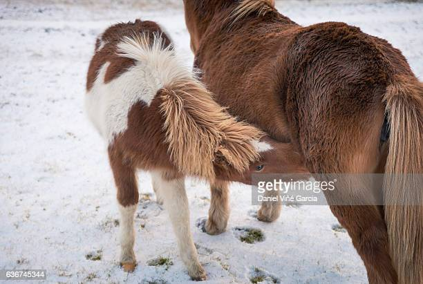 Icelandic horses, mare and foal suckling, Iceland, Europe